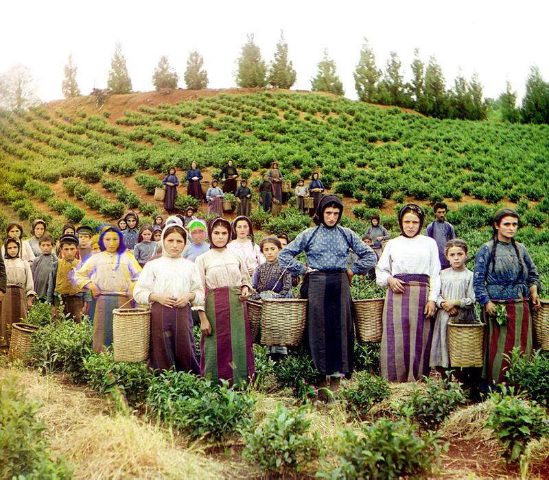 ჩაის კულტურის განვითარების ისტორიიდან აჭარაში